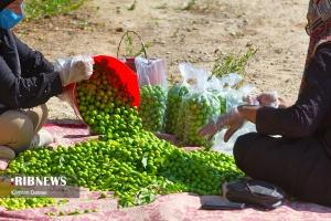 برداشت گوجه سبز